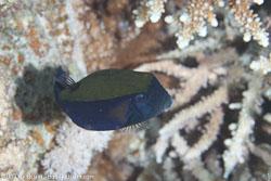 BD-120422-Fury-Shoal-6091-Ostracion-cyanurus.-Rüppell.-1828-[Bluetail-trunkfish].jpg